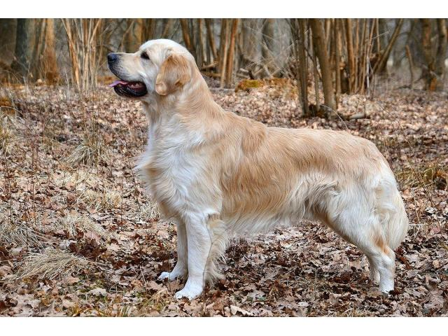 Recherche garde de chien