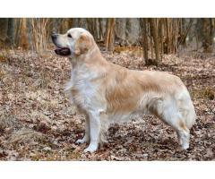 Recherche garde de chien - Saint-Omer (62500)